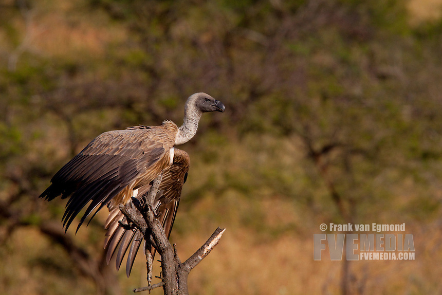 White-backed vulture (Gyps Africanus)..Winter, May 2009..Hluhluwe-Imfolozi Game Reserve, Kwazulu Natal, South Africa.