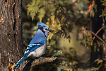 Blue Jay holding a sunflower seed.