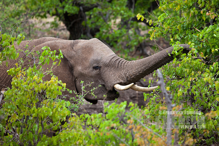 African Elephant (Loxodonta africana).  Vulnerable species...Feeding on fresh Mopani leaves during spring...Mashatu Game Reserve..Tuli block, Botswana..November 2010.