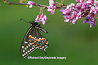 03009-01612 Black Swallowtail butterfly (Papilio polyxenes) newly emerged male on Eastern Redbud tree (Cercis canadensis) Marion County IL