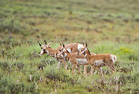 673080099 wild pronghorn antelope antilocarpa americana graze in open plains in bryce canyon national park utah united states
