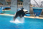 TWO ORCAS BREACH FOR TRAINER AT SAN DIEGO SEA WORLD