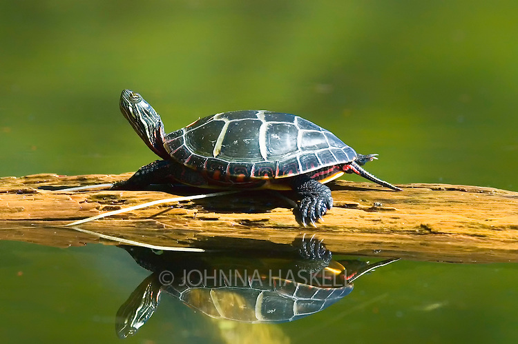 Painted turtle reflection on Sebago Lake, Windham, Maine.