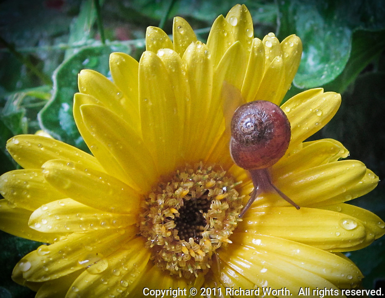 The simple spiral of a snail's shell as the shell's occupant  explores a yellow flower sprinkled with raindrops.
