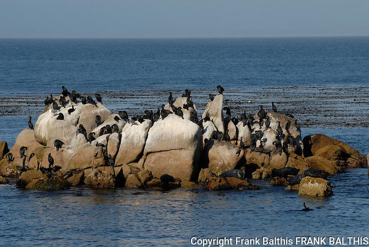 cormorants on rock