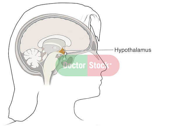 Simple lateral view of a cut away view of the brain, with the hypothalamus highlighted