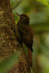 Tawny-winged Woodcreeper