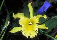 Brassolaeliocattleya Ports of Paradise 'Emerald Isle' orchid hybrid