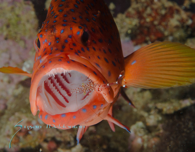 Coral Grouper Cleaning station