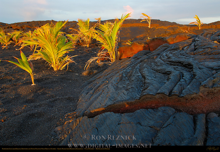 Pahoehoe Lava from Kilauea Eruption and newly planted Palm Trees at Sunrise, Kaimu Beach at Kalapana, Black Sand Beach, Kaimu Bay, Puna District, Big Island of Hawaii
