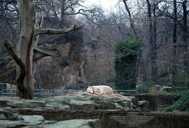 Knut, a polar bear cub who was rejected by his mother at birth and subsequently raised by zookeepers at the Zoologischer Garten in Berlin..