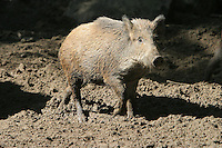 Germany, DEU, Muenster, 2004-Sep-08: A wild boar (sus scrofa) running over muddy ground in the Muenster zoo.