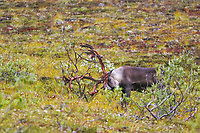 Bull caribou thrashes antlers against willow shrub to aid in shedding antler velvet, Denali National Park, Alaska
