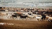 """Dodge City, USA, August 2011:.View of giant feedyard.  Millions of cows are gaining weight in such feedyards across the region, where four huge meatpacking plants of National Beef, Cargill and Tyson slaughter and process about 20 thousand cattle a day. Kansas dominates American beef industry, by producing one quarter of all beef in the USA..(Photo by Piotr Malecki / Napo Images)..Dodge City, Kansas, Stany Zjednoczone, Sierpien 2011:.Bydlo w jednej z tuczarni zwanych """"feedyards"""". W tym rejonie jest mnostwo takich tuczarni, by zaopatrywac cztery wielkie zaklady miesne nalezace do firm National Beef, Cargill i Tyson. Zaklady te przerabiaja razem okolo 20 tysiace sztuk bydla dziennie.  Stan Kansas zdominowal rynek wolowiny w Stanach Zjednoczonych, produkujac jedna czwarta calej amerykanskiej wolowiny. Amerykanski przemysl miesny jest bardzo uzalezniony od taniej sily roboczej, ktora daja emigranci..Fot: Piotr Malecki / Napo Images."""