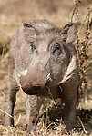 Warthog, Phacochoerus africanus, Bale Mountains National Park, Ethiopia, near Dinsho Lodge, male, tusks, Africa