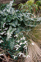 Arum italicum 'White Winter' with Galanthus