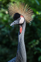 Grey Crowned Crane, Balearica regulorum. - there are fifteen crane species, their migrations routes take them across widely diverse terrains and so cranes are symbols of unity among diverse peoples.  Cranes have long necks, legs and wings. Their size and graceful proportions make them easy to recognize.  Cranes come with colorful adornments including ornamental crests and dramatic plumage colors.