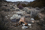 LOVELOCK, NV - JANUARY 29, 2014: A wild horse carcass decays in the desert as a drought emergency is declared in Nevada. CREDIT: Max Whittaker for The New York Times