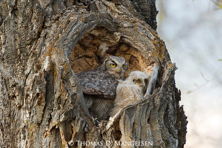 A great horned owl sits with its owlets in their nest in the heart-shaped hollow of a cottonwood in Grand Teton National Park, Wyoming.