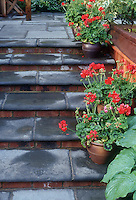 Containers pots along patio steps, red zonal geraniums annual Pelargonium flowers, hosta, blue slate stairs