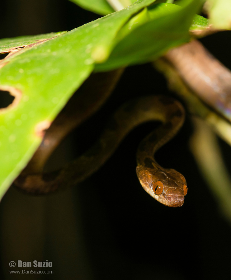 Northern Cat-eyed Snake, Leptodeira septentrionalis, at Tirimbina Biological Reserve, Costa Rica