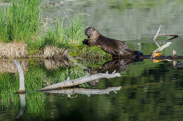 River Otter (Lontra canadensis) reflecting in pond.  Western U.S., summer.  There is part of an uneaten fish on the log behind the otter.