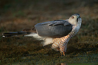 541720017 a wild adult coopers hawk accipiter cooperii stands near a small pond on a private ranch in the rio grande valley of south texas