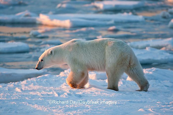 01874-12009 Polar Bear (Ursus maritimus) walking along Hudson Bay in winter, Churchill Wildlife Management Area, Churchill, MB Canada