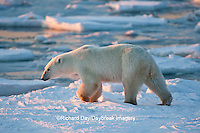 01874-12009 Polar Bear (Ursus maritimus) walking along Hudson Bay in winter, Churchill Wildlife Management Area, Churchill, MB Canada