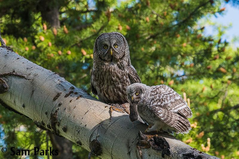 Great gray owl adult feeding fledgling. Grand Teton National Park, Wyoming.