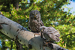 Great gray owl adult feeding fledgling. Grand Teton National Park, Wyoming.