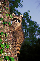 Raccoon, Pyron locotor, surprised while climbing up a tree in evening light
