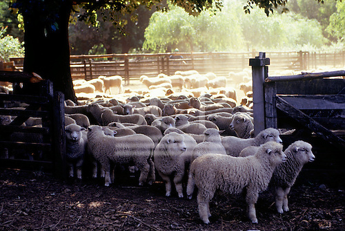 Southern Chile. Woolly sheep in a pen.