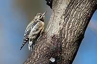 Yellow-bellied Sapsucker (Sphyrapicus varius), juvenile feeding on sap in a tree in New York City's Central Park.