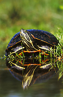 Red-eared Slider, Trachemys scripta elegans, adult sunning, Willacy County, Rio Grande Valley, Texas, USA, April 2004