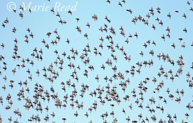 European Starlings (Sturnus vulgaris) large flock in flight, Ithaca, New York, USA