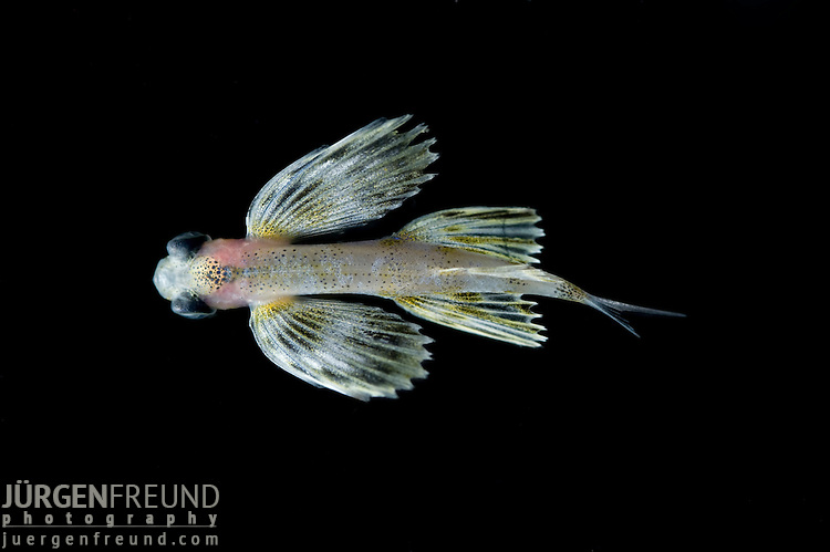Juvenile flying fish.  Their most striking feature is their pectoral fins, which are unusually large, and enable the fish to take short gliding flights through air, above the surface of the water, in order to escape from predators.