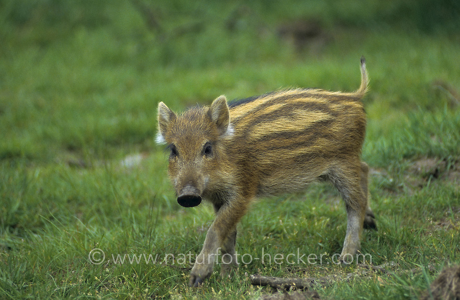 Wildschwein, Wild-Schwein, Schwarzwild, Schwarz-Wild, Frischling, Junges, Jungtier, Schwein, Sus scrofa, wild boar, pig