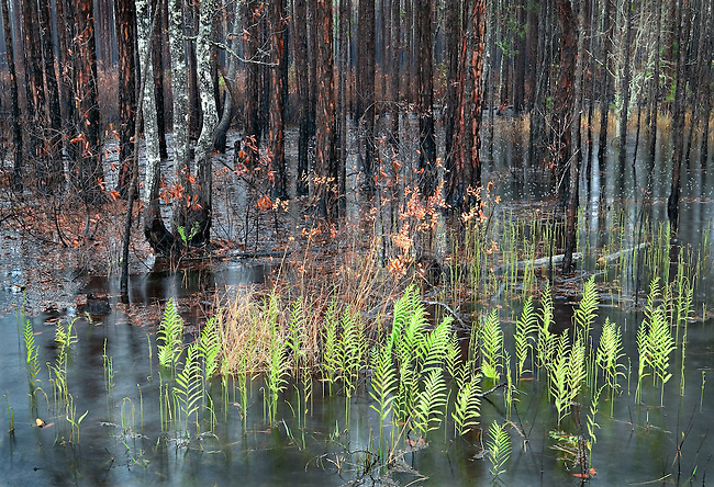 Delicate Young Spring Ferns in Pond, Ocala National Forest, Florida