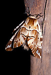 Kentish Glory Moth, Endromis versicolora, male adult, on stem, brown pattern wings. .United Kingdom....