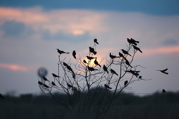 Great-tailed Grackle (Quiscalus mexicanus), group at sunset, Welder Wildlife Refuge, Sinton, Texas, USA
