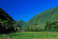 Waipio valley farm with taro growing, Big Island