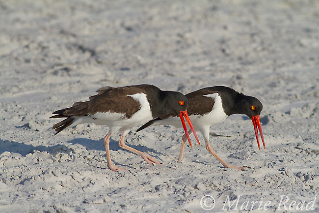 """American Oystercatchers (Haematopus palliatus) courting pair performing """"Piping Display"""", calling as they walk along together, Fort DeSoto Park, Florida, USA"""