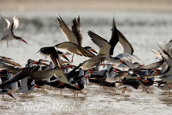 Flock of Black Skimmers (Rynchops niger) taking flight, Florida, USA