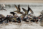 Flock of Black Skimmers (Rynchops niger) taking flight, Florida, USA