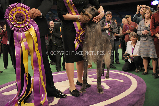 WWW.ACEPIXS.COM . . . . . .February 15, 2011...New York City...Hickory the Scottish Deerhound poses for photos after winning Best in Show during the 135th Westminster Kennel Club Dog Show at Madison Square Garden. New York City, February 15, 2011....Please byline: KRISTIN CALLAHAN - ACEPIXS.COM.. . . . . . ..Ace Pictures, Inc: ..tel: (212) 243 8787 or (646) 769 0430..e-mail: info@acepixs.com..web: http://www.acepixs.com .