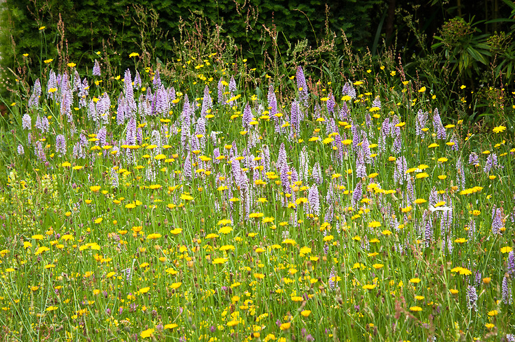 Common spotted orchid (Dactylorhiza fuchsii) and wildflowers in the Topiary Lawn, Great Dixter, early June.