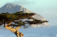 Cypress, Morro Rock, Morro Bay, California