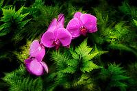 Orchid. Hawaii Tropical Botanical Gardens, The Big Island, Hawaii