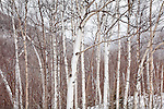 Snowy birches at Pinkham Notch, White Mountain National Forest, NH, USA